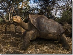 lonesome-george-galapagos-turtle-extinct_55497_600x450